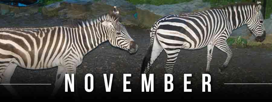 Social Animal Calendar November